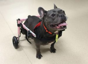 Ella special needs frenchie adopted by Honolulu family